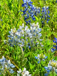 I love bluebonnets!